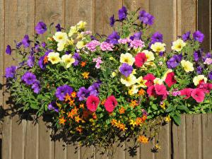 Фото Петунья Разноцветные Цветы