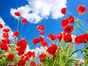 Обои Мак Небо Красные Облако цветок