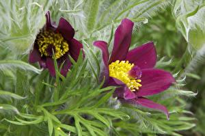 Фотография Прострел Крупным планом Бордовая Две цветок
