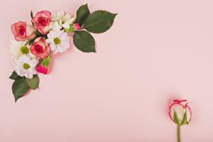 Фотографии Розы Хризантемы Крупным планом Цветной фон