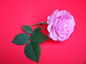 Обои Розы Вблизи Розовый Красный фон