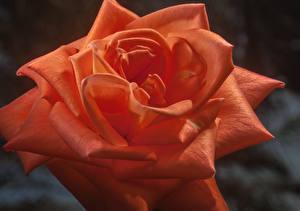 Фотография Розы Вблизи Красный Цветы