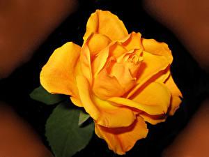 Картинка Розы Крупным планом Желтая Цветы