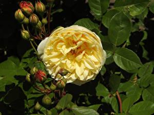 Фотография Розы Вблизи Желтый Бутон Цветы