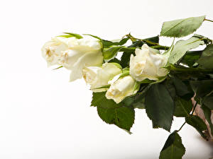 Картинка Розы Белый фон Белый Цветы
