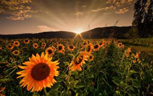 Картинки Рассветы и закаты Поля Подсолнухи Природа