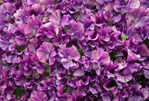 Фотография Душистый горошек Вблизи Фиолетовый Цветы