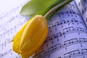 Фото Тюльпаны Вблизи Ноты Желтый Капли Цветы