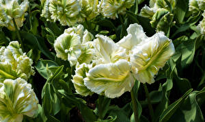 Фотографии Тюльпаны Крупным планом Parrot Tulips Цветы