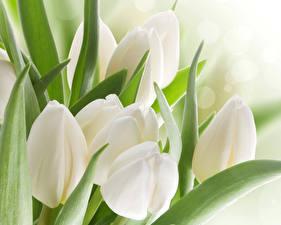 Фотография Тюльпаны Вблизи Белый Цветы