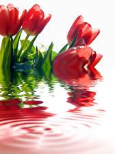 Картинка Тюльпаны Вода Красный Цветы