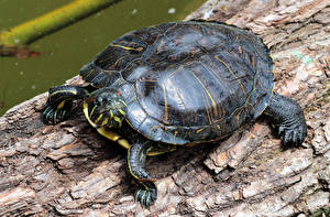 Фотографии Черепахи Крупным планом Животные