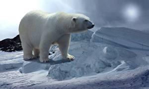 Обои Медведи Полярный Снег Животные