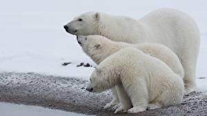 Картинки Медведи Белые Медведи Три Животные