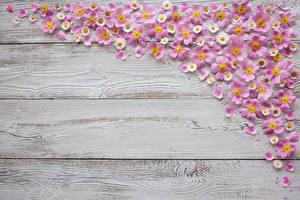 Обои Маргаритка Доски Лепестки Цветы