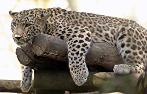 Фотография Большие кошки Леопарды Взгляд Животные