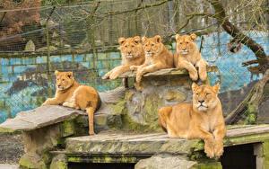 Фотография Большие кошки Львы Львица Животные