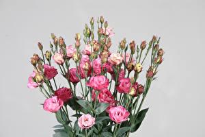 Фотографии Букеты Лизантус Серый фон Бутон Цветы
