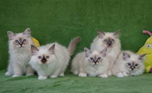 Фото Кошки Котята Смотрит Животные