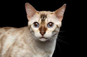 Картинка Коты Черный фон Морда White Bengal Cat Животные