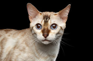 Картинка Кошка Черный фон Морды White Bengal Cat Животные