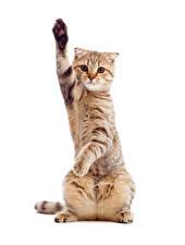 Фотография Кошки Белый фон Смотрит Лапы