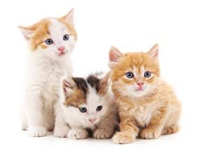 Картинки Коты Белый фон Втроем Котята Смотрит Животные
