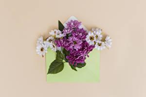 Картинка Хризантемы Цветной фон Цветы