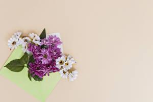 Фотография Хризантемы Цветной фон