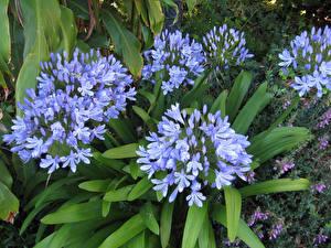 Картинка Вблизи Голубой Agapanthus Цветы