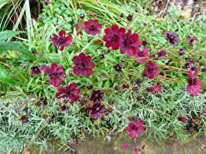 Фото Космея Бордовый Цветы