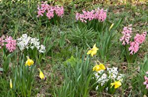 Картинка Нарциссы Гиацинты Цветы