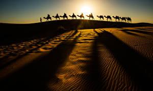 Картинка Пустыни Верблюды Песок Силуэт Природа