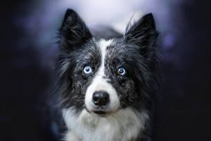 Картинка Собаки Бордер-колли Смотрит
