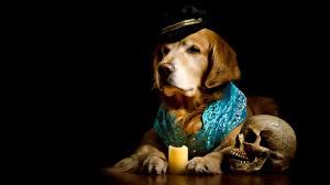 Фотографии Собаки Голден Черепа Черный фон Шляпа Животные