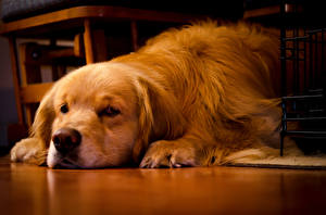Картинки Собаки Золотистый ретривер Морда Животные
