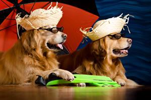 Фотографии Собака Золотистый ретривер Двое Шляпа Очках животное