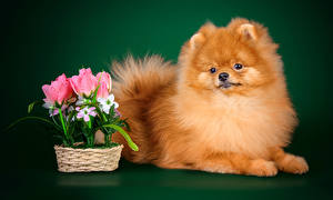 Картинка Собака Тюльпан Цветной фон Шпиц Смотрят Животные