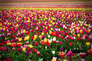 Фото Поля Тюльпаны Много Разноцветные Цветы