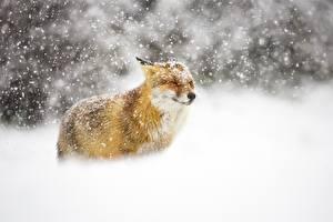 Фотографии Лисица Зима Снег Животные