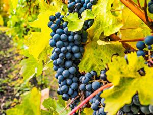 Обои Виноград Ветвь