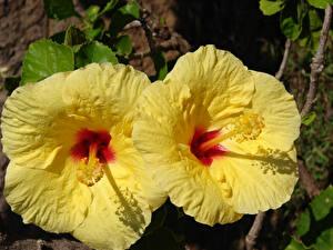 Картинки Гибискусы Крупным планом Желтая Вдвоем Цветы