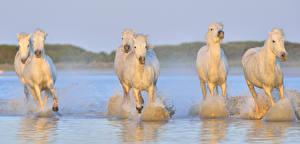 Картинки Лошади Вода Белый Бег Животные