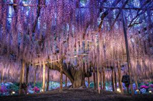 Картинка Япония Парки Глициния Tochigi Цветы