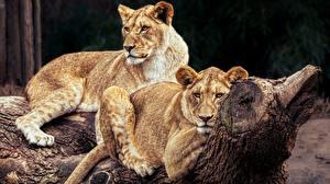 Фотографии Львица Львы 2 Животные