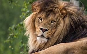 Фотография Львы Взгляд животное
