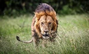Фото Львы Трава Взгляд Животные