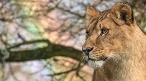Картинки Львы Львица Взгляд Животные