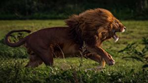 Обои Львы Бег Сбоку Животные