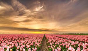 Фото Нидерланды Поля Рассветы и закаты Тюльпан Много Розовый Природа Цветы